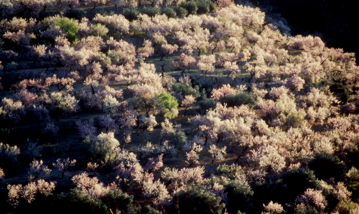 Almond trees in blossom in February near Tàrbana